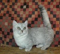 Munchkin Cats for sale in 10006 4th Ave, Brooklyn, NY 11209, USA. price: NA