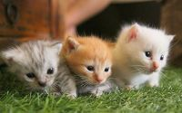 Munchkin Cats for sale in Portland, OR, USA. price: NA