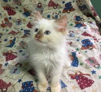 Munchkin Cats for sale in Chicago, IL, USA. price: NA