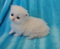 Munchkin Cats for sale in Wichita, KS 67216, USA. price: NA