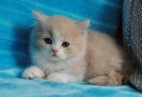 Munchkin Cats for sale in Wichita, KS, USA. price: NA