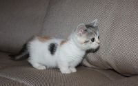 Munchkin Cats for sale in Black River Falls, WI 54615, USA. price: NA