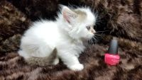 Munchkin Cats for sale in San Diego, CA 92104, USA. price: NA