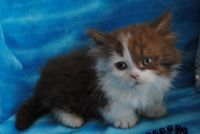 Munchkin Cats for sale in Fort Worth, TX 76107, USA. price: NA