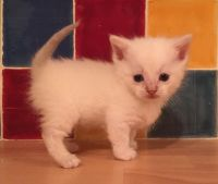 Munchkin Cats for sale in New York, NY 10033, USA. price: NA