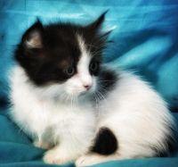 Munchkin Cats for sale in Wichita, KS 67214, USA. price: NA