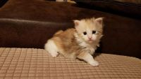 Munchkin Cats for sale in Madison, WI 53784, USA. price: NA