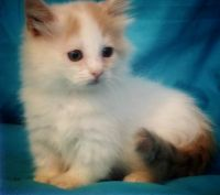 Munchkin Cats for sale in San Francisco, CA 94144, USA. price: NA