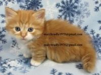 Munchkin Cats for sale in Milwaukee, WI, USA. price: NA