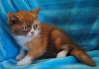 Munchkin Cats for sale in Kansas City, KS 66112, USA. price: NA