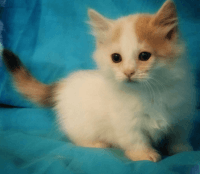 Munchkin Cats for sale in 83730 562 Ave, Stanton, NE 68779, USA. price: NA
