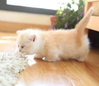 Munchkin Cats for sale in Des Moines, IA 50312, USA. price: NA