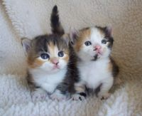 Munchkin Cats for sale in Dallas, TX 75398, USA. price: NA