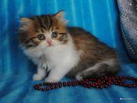 Munchkin Cats for sale in Tulsa, OK 74134, USA. price: NA