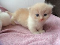 Munchkin Cats for sale in Oklahoma City, OK 73160, USA. price: NA
