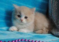 Munchkin Cats for sale in Sacramento, CA 94237, USA. price: NA
