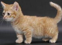 Munchkin Cats for sale in Dallas, TX, USA. price: NA