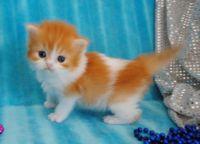 Munchkin Cats for sale in Dallas, TX 75342, USA. price: NA