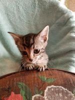 Munchkin Cats for sale in Thomasville, NC 27360, USA. price: NA