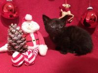 Munchkin Cats for sale in Dothan, AL, USA. price: NA
