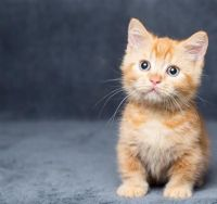 Munchkin Cats for sale in Long Beach, CA, USA. price: NA