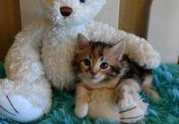 Munchkin Cats for sale in Little Rock, AR 72205, USA. price: NA