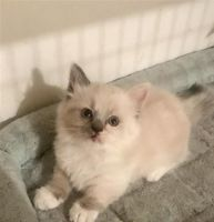Munchkin Cats for sale in Indianapolis, IN, USA. price: NA