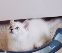 Munchkin Cats for sale in Charlotte, NC, USA. price: NA