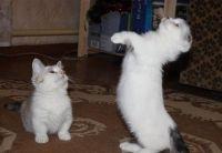 Munchkin Cats for sale in Richmond, VA, USA. price: NA