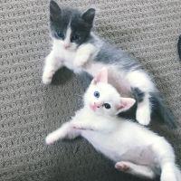 Munchkin Cats for sale in Phoenix, AZ, USA. price: NA