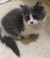 Munchkin Cats for sale in Spring Mill, KY 40228, USA. price: NA