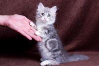 Munchkin Cats for sale in Lansing, MI 48930, USA. price: NA