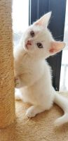 Munchkin Cats for sale in New Orleans, LA 70121, USA. price: NA
