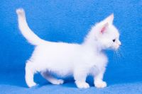 Munchkin Cats for sale in Chicago, IL 60613, USA. price: NA