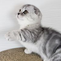 Munchkin Cats for sale in Los Angeles, CA, USA. price: NA