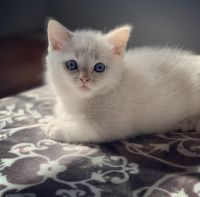 Munchkin Cats for sale in Cleveland, OH, USA. price: NA