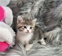 Munchkin Cats for sale in Fall River, MA 02721, USA. price: NA