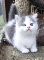 Munchkin Cats for sale in Kansas City, MO 64126, USA. price: NA