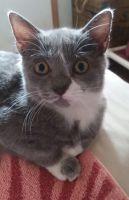 Munchkin Cats for sale in Port Orange, FL, USA. price: NA