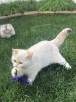 Munchkin Cats Photos