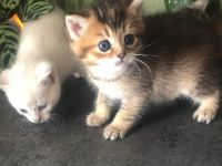 Munchkin Cats for sale in Ann Arbor, MI, USA. price: NA