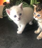Munchkin Cats for sale in Fargo, ND, USA. price: NA