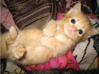 Munchkin Cats for sale in Trenton, NJ, USA. price: NA