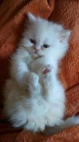Munchkin Cats for sale in San Francisco, CA, USA. price: NA
