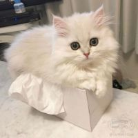Munchkin Cats for sale in Little Rock, AR, USA. price: NA