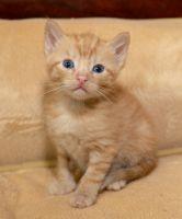 Munchkin Cats for sale in Charleston, WV, USA. price: NA
