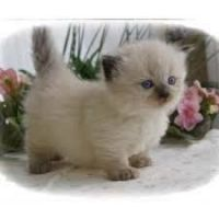Munchkin Cats for sale in New York, IA 50238, USA. price: NA