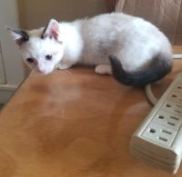 Munchkin Cats for sale in S Vernal Ave, Vernal, UT 84078, USA. price: NA
