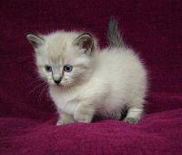 Munchkin Cats for sale in Mobile, AL 36652, USA. price: NA