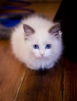 Munchkin Cats for sale in Anchorage, AK, USA. price: NA